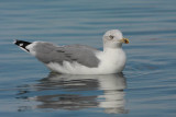 Yellow-legged gull Larus michahellis rumenonogi galeb_MG_9378-1.jpg