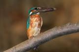Kingfisher Alcedo athis vodomec_MG_5036-1.jpg