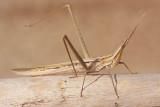Mediterranean slant-faced grasshopper Acrida ungarica nosata saranèa_MG_9603-1.jpg