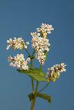 Common buckwheat Fagopyrum esculentum ajda_MG_1423-1.jpg