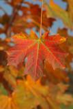 Maple in autumn javor jeseni_MG_2939-1.jpg