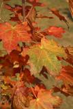 Maple in autumn javor jeseni_MG_2940-1.jpg