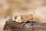 Blue-winged grasshopper Oedipoda caerulescens modrokrila pe¹èenka_MG_9597-1.jpg