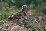 Short-eared owl Asio flammeus mo�virska uharica_MG_1547-1.jpg