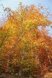 Beech in autumn bukev jeseni_MG_2948-1.jpg