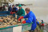 Sorting of fishes sortiranje rib_MG_3089-1.jpg