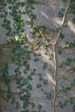 Ivy Hedera helix br¹ljan_MG_1397-1.jpg