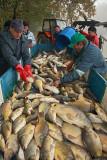 Sorting of fishes sortiranje rib_MG_3081-1.jpg