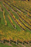Vineyard vinograd_MG_1140-1.jpg
