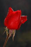 red_rose_vrtnica