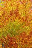 Beech in autumn bukev jeseni_MG_2955-1.jpg