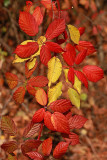 Autumn bramble jesenska robida_MG_7992-1.jpg