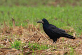 Rook Corvus frugulegus poljska vrana_MG_20011-1.jpg