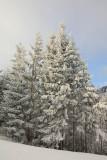 Spruces covered with snow smreke pokrite z snegom_MG_5271-1.jpg