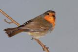 Robin Erithacus rubecula  ta¹èica_MG_3903-11.jpg