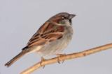 House sparrow Passer domesticus domaèi vrabec_MG_4583-11.jpg