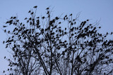 Jackdaw Corvus monedula on roost kavka_MG_4674-11.jpg