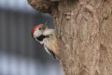 Middle spotted woodpecker Dendrocopus medius srednji detel_MG_4892-11.jpg