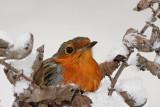 Robin Erithacus rubecula  ta¹èica_MG_4444-11.jpg