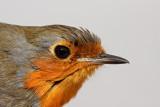 Robin Erithacus rubecula  ta¹èica_MG_4419-11.jpg
