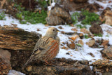 Alpine accentor Prunella collaris planinska pevka_MG_4959-11.jpg