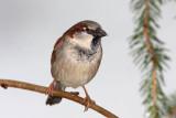 House sparrow Passer domesticus domači vrabec_MG_5715-11.jpg