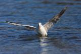 Black-headed gull Larus ridibundus reèni galeb_MG_7136-11.jpg