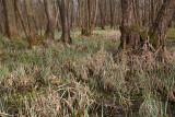 Alder swamp forest poplavni gozd èrne jel¹e_MG_8306-11.jpg