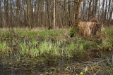 Alder swamp forest poplavni gozd èrne jel¹e_MG_8309-11.jpg