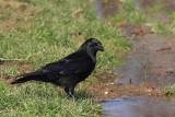 Carrion crow Corvus corone èrna vrana_MG_9476-11.jpg