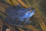 Moor frog Rana arvalis plavček_MG_9222-11.jpg