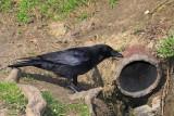 Carrion crow Corvus corone èrna vrana_MG_9424-11.jpg