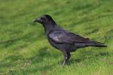 Carrion crow Corvus corone èrna vrana_MG_9504-11.jpg