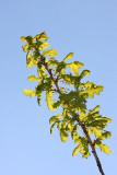 English oak Quercus robur hrast dob_MG_0555-11.jpg