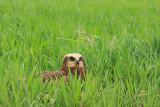 Eurasian marsh harrier Circus aeruginosus rjavi lunj_MG_0889-11.jpg