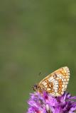Heath fritillary Melitaea athalia navadni pisanèek_MG_1803-11.jpg