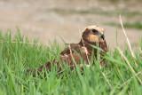 Eurasian marsh harrier Circus aeruginosus rjavi lunj_MG_0807-11.jpg