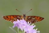 Heath fritillary Melitaea athalia navadni pisanèek_MG_1762-11.jpg