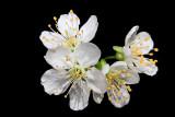 Wild cherry Prunus avium divja èe¹nja_MG_0141-11.jpg