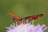 Heath fritillary Melitaea athalia navadni pisanèek_MG_9951-11.jpg