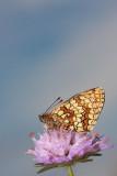 Heath fritillary Melitaea athalia navadni pisanèek_MG_2234-11.jpg