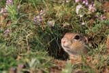 european_ground_squirrels_spermophilus