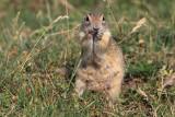 European ground squirrels Spermophilus citellus tekunica_MG_0650-11.jpg