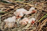 Youngs on the nest mladièi na gnezdu_MG_9938-11.jpg