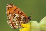 Heath fritillary Melitaea athalia navadni pisanèek_MG_9897-11.jpg