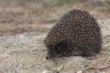 Eastern european hedgehog Erinaceus concolor beloprsi je¾_MG_1450-11.jpg