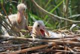 Youngs on the nest mladièi na gnezdu_MG_9915-11.jpg