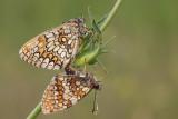 Heath fritillary Melitaea athalia navadni pisanèek_MG_0020-11.jpg