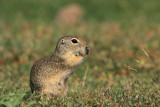 European ground squirrels Spermophilus citellus tekunica_MG_06671-11.jpg