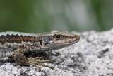 Horvath's rock lizard Iberolacerta (Lacerta) horvathi horvatova ku¹èarica_MG_1737-11.jpg